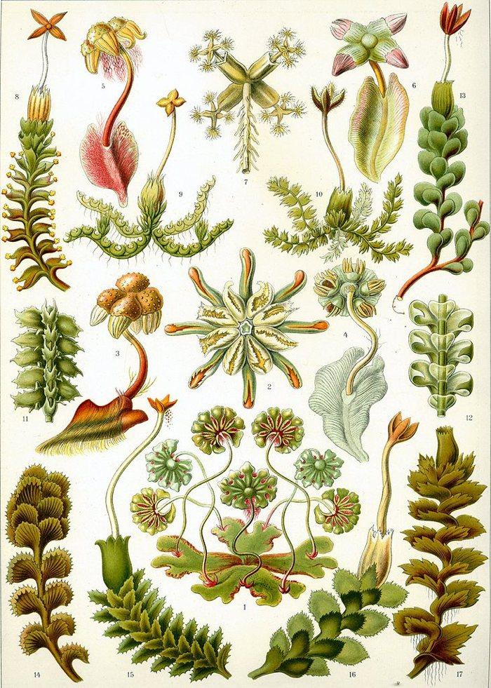 Ernst Haeckel:Kunstformen der Natur (1904), tablica 82: Hepaticae