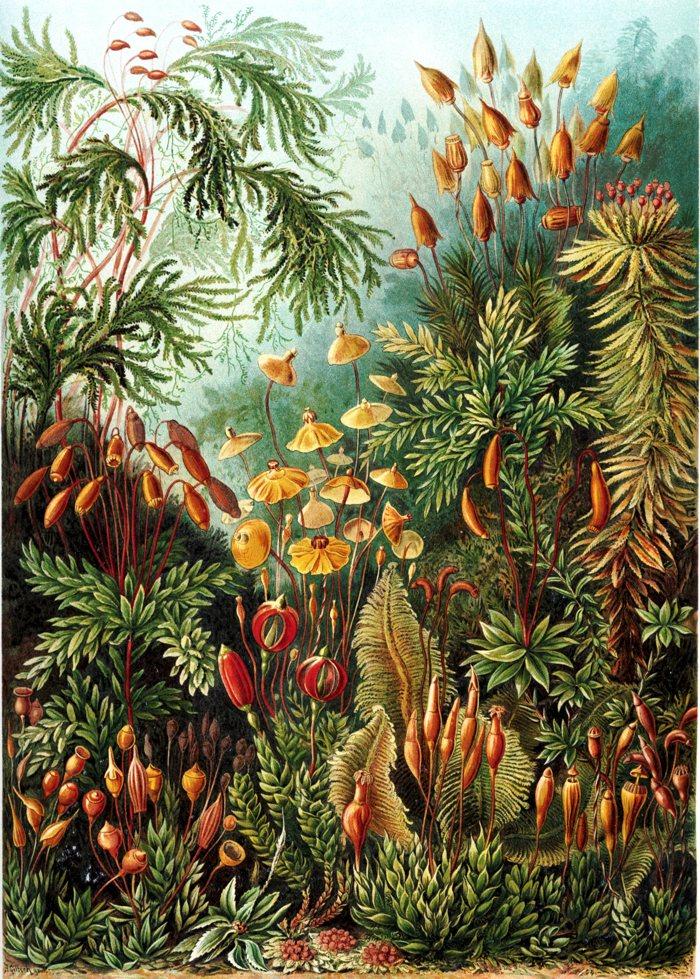 Ernst Haeckel: Kunstformen der Natur (1904), tablica 72: Muscinae