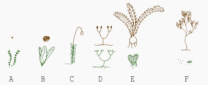 Ewolucja przemiany pokoleń u roślin. Sporofity oznaczono kolorem brązowym, gametofity zielonym. A) glonowi przodkowie roślin posiadali sporofity jedynie w postaci pojedynczej, zapłodnionej zygoty. B) U pierwotnych roślin dochodziło już do rozwoju prostego, wielokomórkowego sporofitu. C) U mszaków sporofit jest już zróżnicowany strukturalnie, ale wciąż jest całkowicie zależny od gametofitu. D) U przodków roślin naczyniowych oba pokolenia były prawdopodobnie podobnie rozwinięte i autonomiczne. E) U współczesnych paprotników sporofit jest już pokoleniem dominującym. Gametofit to krótkotrwała, miniaturowa i plechowata roślinka, żyjąca tylko chwilę w porównaniu do wieloletniego, trwałego sporofitu. Wciąż jednak jest samodzielnym organizmem. F) U roślin nasiennych sporofity mogą być żyjącymi tysiące lat roślinami (tak jest u wielu drzew), zaś gametofity to zbudowane z kilku komórek struktury skryte w kwiatach, oraz mikroskopijnych rozmiarów ziarna pyłku.