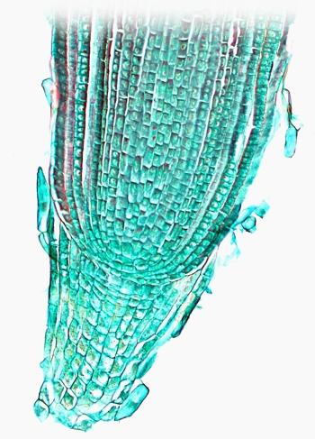 Przekrój szczytowej części korzenia, na którym widać różne rodzaje tkanek budujących ten narząd. Foto: BlueRidgeKitties (CC BY-NC-SA 2.0)