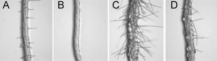 Korzeń rzodkiewnika. A) Korzeń normalnej rośliny. B-D) Korzenie z defektywnymi genami, które regulują zarówno rozwój korzeni, jak i ryzoidów mszaków. Geny te powstały u wspólnych przodków wszystkich dzisiejszych roślin. Foto: Singh et al. (CC BY 2.0).