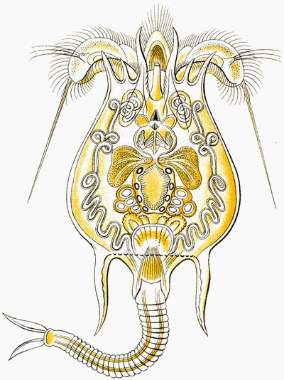 Wrotek. Ilustracja autorstwa Ernsta Haeckela.