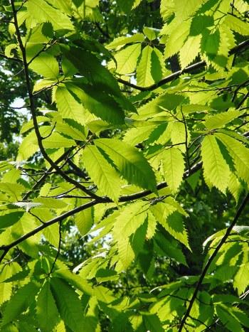 Amerykański kasztanowiec był kiedyś najczęstszym drzewem liściastym w Stanach Zjednoczonych. Zawleczenie pasożytniczego grzyba z Japonii doprowadziło do śmierci większości tych drzew zaledwie w ciągu pół wieku. Fotografia: Nicholas A. Tonellina licencjiCC BY 2.0.