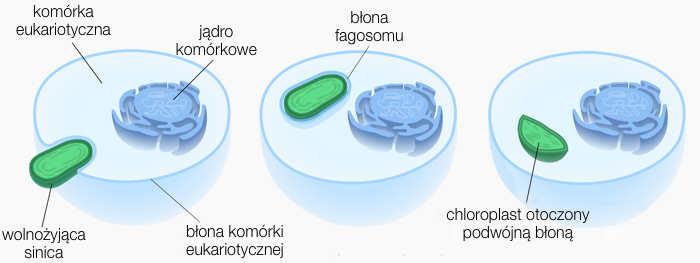 Przebieg endosymbiozy w której powstały plastydy. Pierwszym etapem była fagocytoza pradawnych sinic przez prymitywne komórki eukariotyczne (czyli komórki wyposażone w jądra komórkowe). Wchłonięta sinica, otoczona błonąfagosomu, nie została strawiona, zamiast tego stała się symbiontem komórki eukariotycznej. Po milionach lata i wielu zmianach, które znacznie silniej zespoliły ze sobą metabolizmy symbiontów, oraz po migracji wielu genów sinicy do genomu komórki eukariotycznej, powstał chloroplast. Grafika jest zmodyfikowaną wersją oryginału stworzonego przez Kelvinsong, użytego, zmodyfikowanego i udostępnionego na licencjiCC BY-SA 3.0.