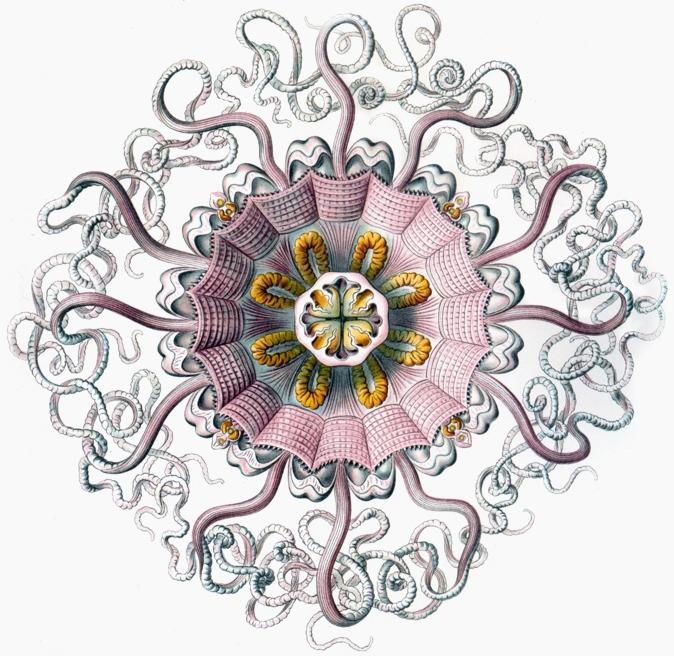 Ilustracja Ernsta Haeckela uwypuklająca promienistą symetrię meduzy, która jest przedstawicielem parzydełkowców.