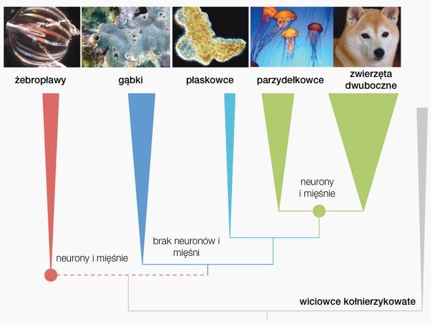 Źródło ilustracji: Leonid et al.  The ctenophore genome and the evolutionary origins of neural systems  . Naturedoi:10.1038/nature13400. Użyte, zmodyfikowane i udostępnione na licencji CC BY-NC-SA 3.0 .
