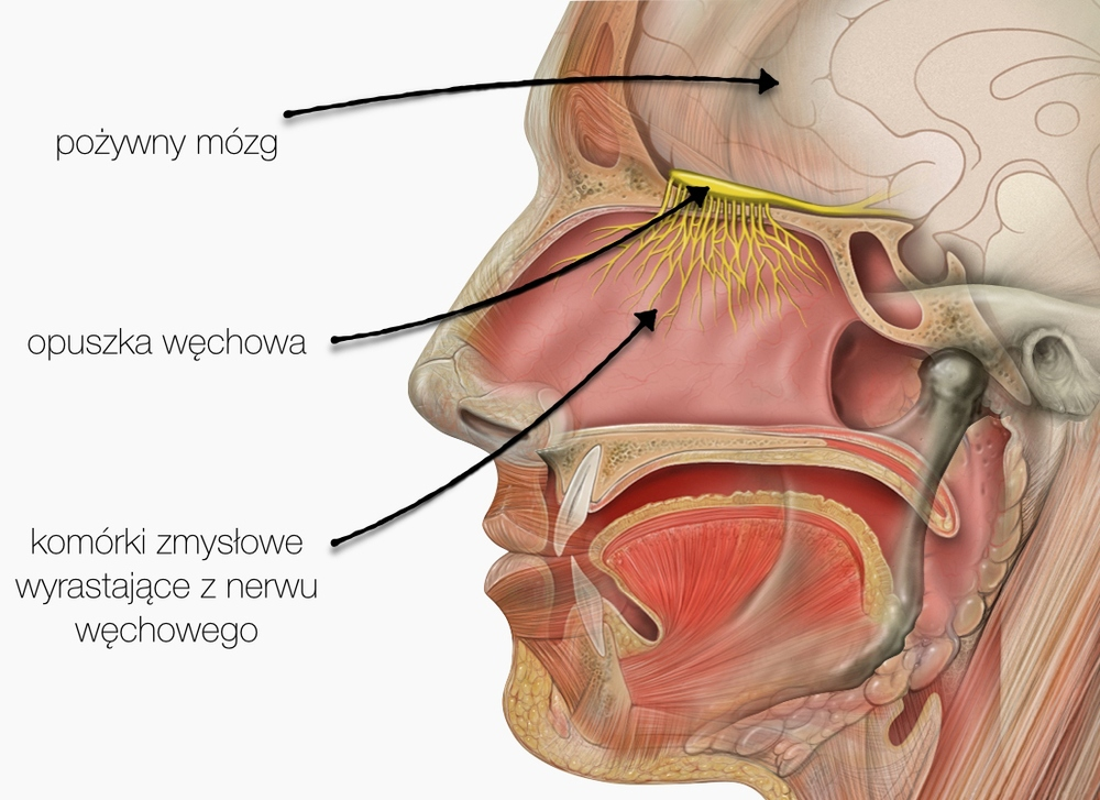 Ameba dostaje się do mózgu przez nerw węchowy, który z kolei może zaatakować, jeśli człowiek połknie wodę, która dostanie się głęboko do jamy nosowej. Grafika wykorzystuje ilustracjęPatricka J. Lyncha, użytą na licencjiCC BY 2.5.