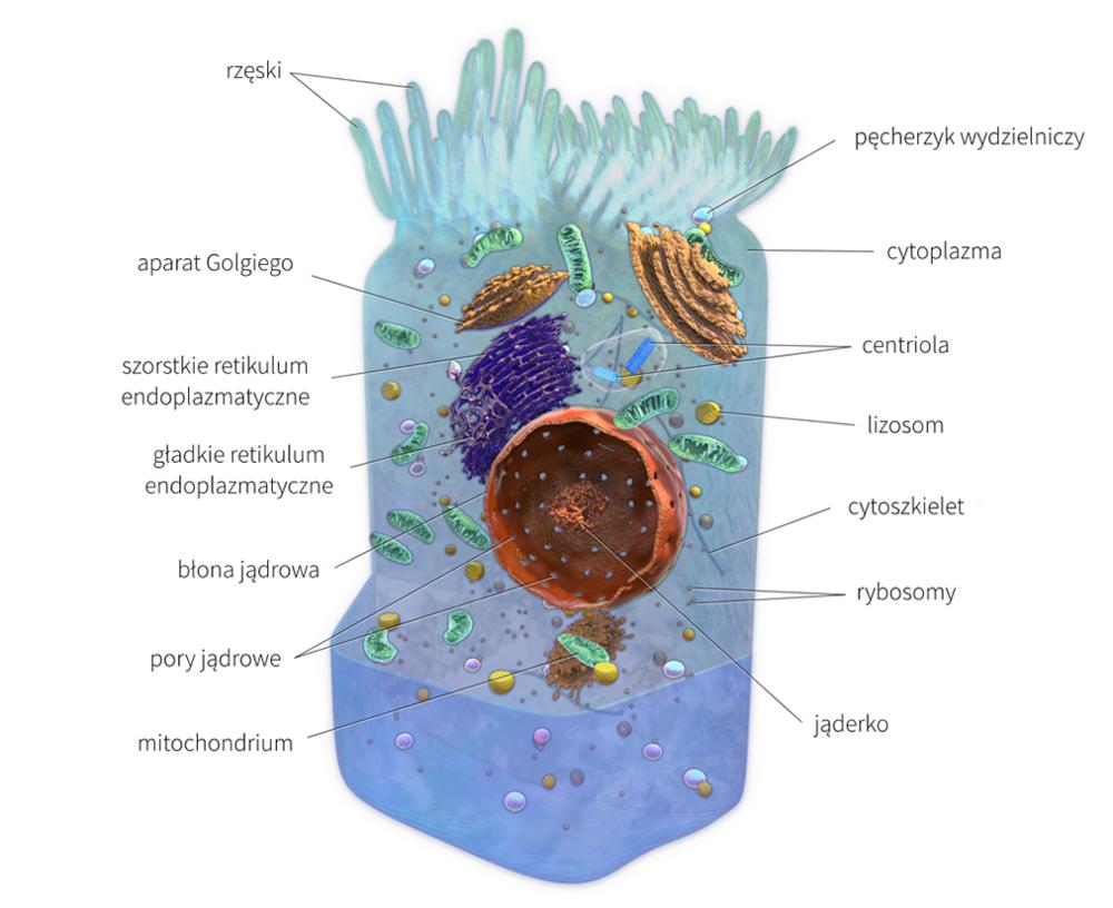 """Ilustracja wykorzystuje grafikę autorstwa:Blausen.com staff. """"Blausen gallery 2014"""".Wikiversity Journal of Medicine.DOI:10.15347/wjm/2014.010.ISSN20018762, na licencji CC."""