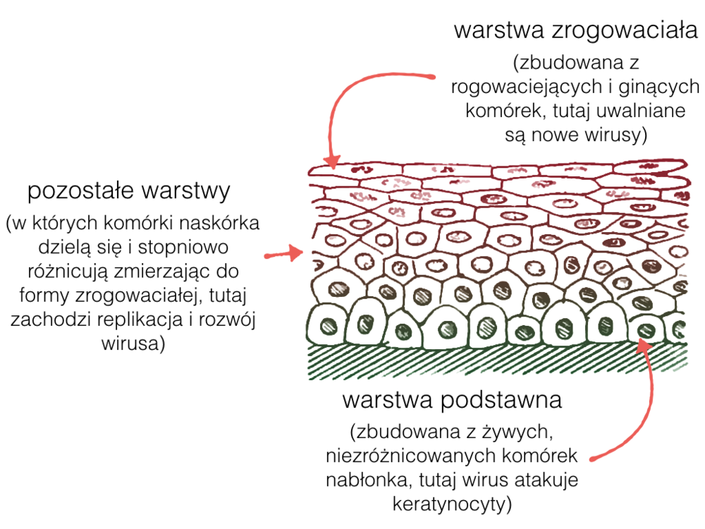Cykl życiowy HPV jest zestrojony z cyklem życiowym komórek naskórka.