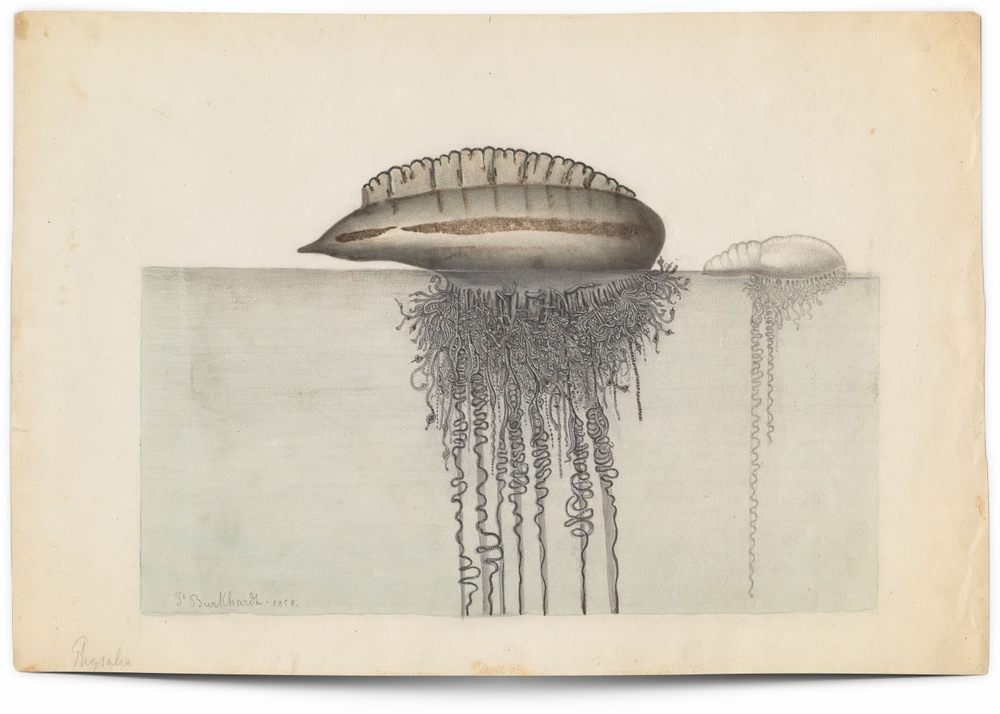 Drawing of Portuguese man-of-war (18 x 27 cm.)Repository: Ernst Mayr Library, Museum of Comparative Zoology, Harvard University