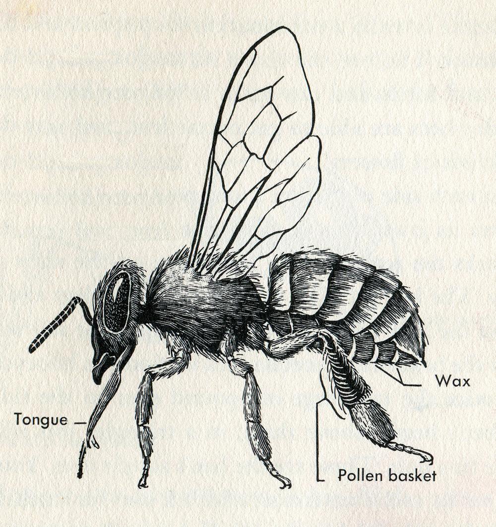 pollen_basket.jpg