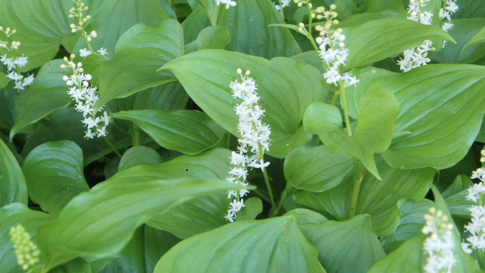 False Lily of the Valley
