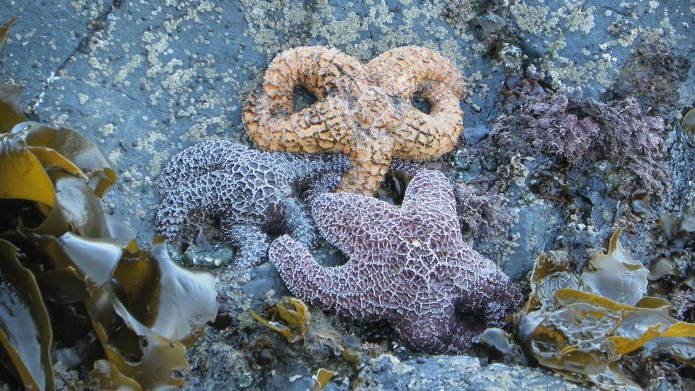 Ochre Sea Stars