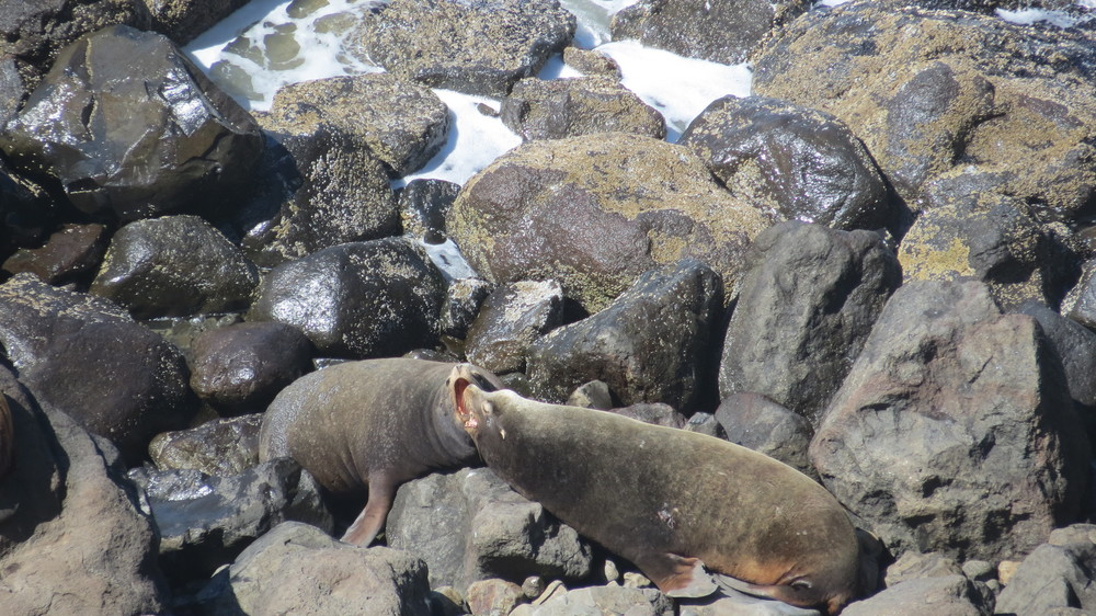 California Sea Lions  (Sea Lion Caves, Oregon Coast)