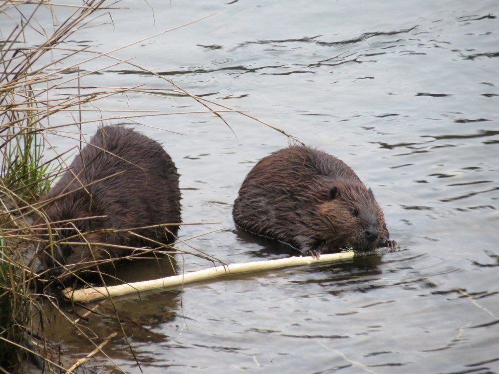 Beavers   (Alsea River, near Blackberry Campground, Oregon Coast)