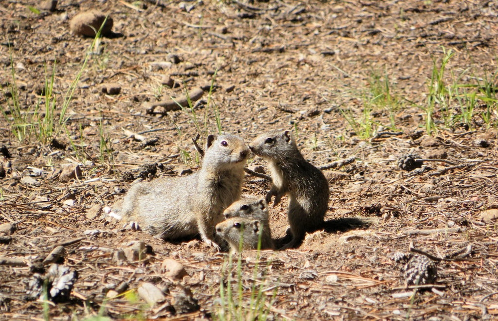 Uinta Ground Squirrels    (Lodgepole Campground, near Strawberry Reservoir, Utah)