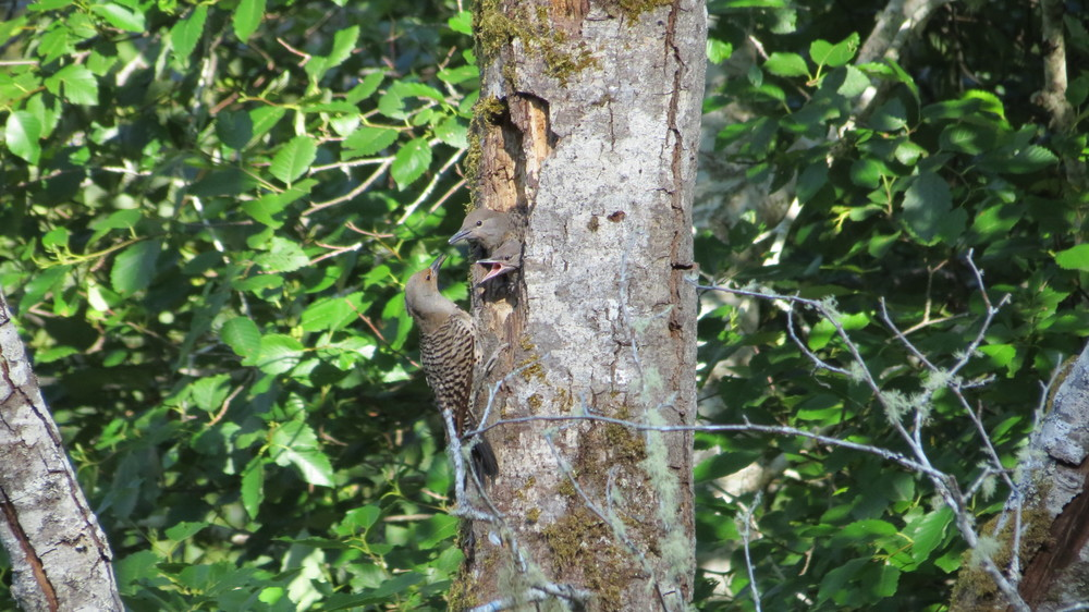 Northern Flicker female feeding 2 chicks