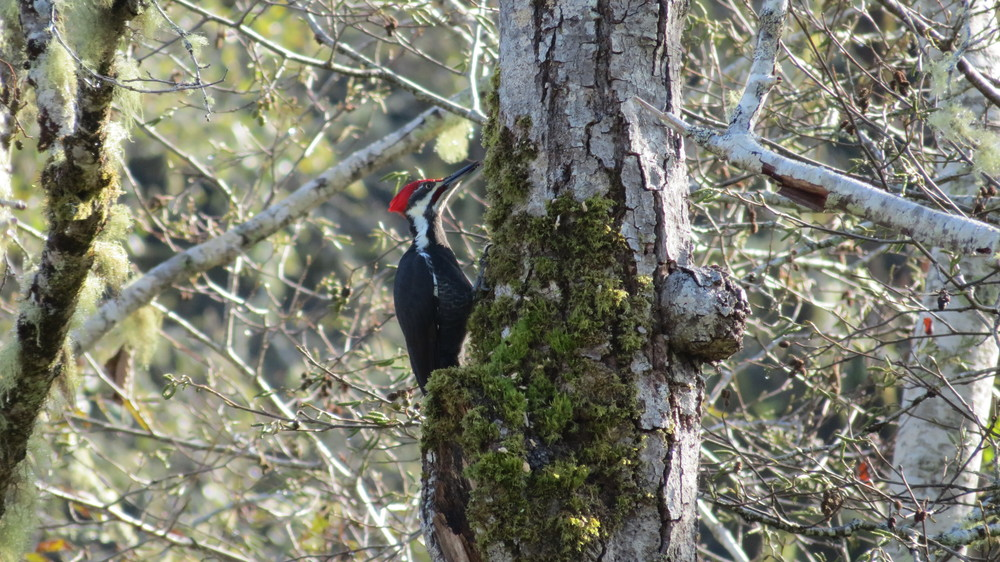 Pileated woodpeckers feed on insects