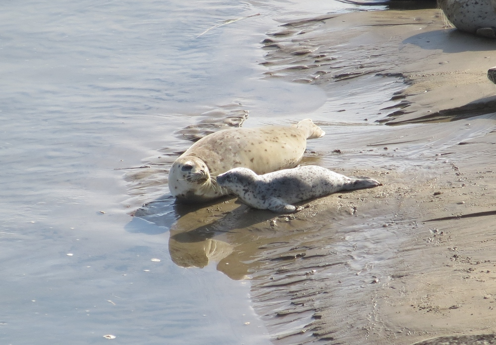 Harbor Seals, Alsea Bay, Central Coast Ranger District
