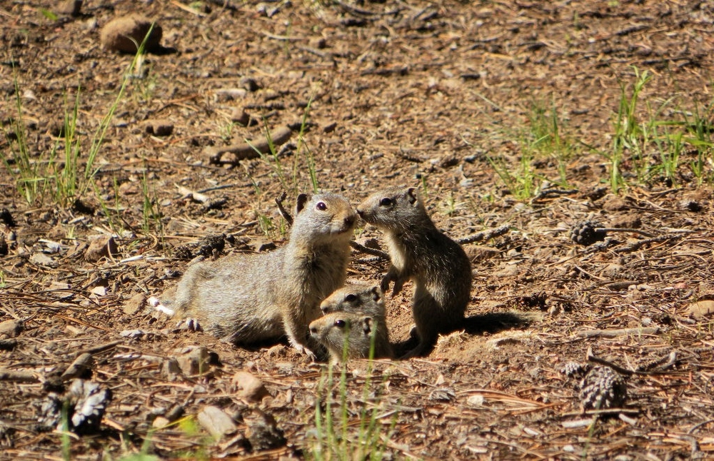 Uinta Ground Squirrels (potguts) in Heber Ranger District