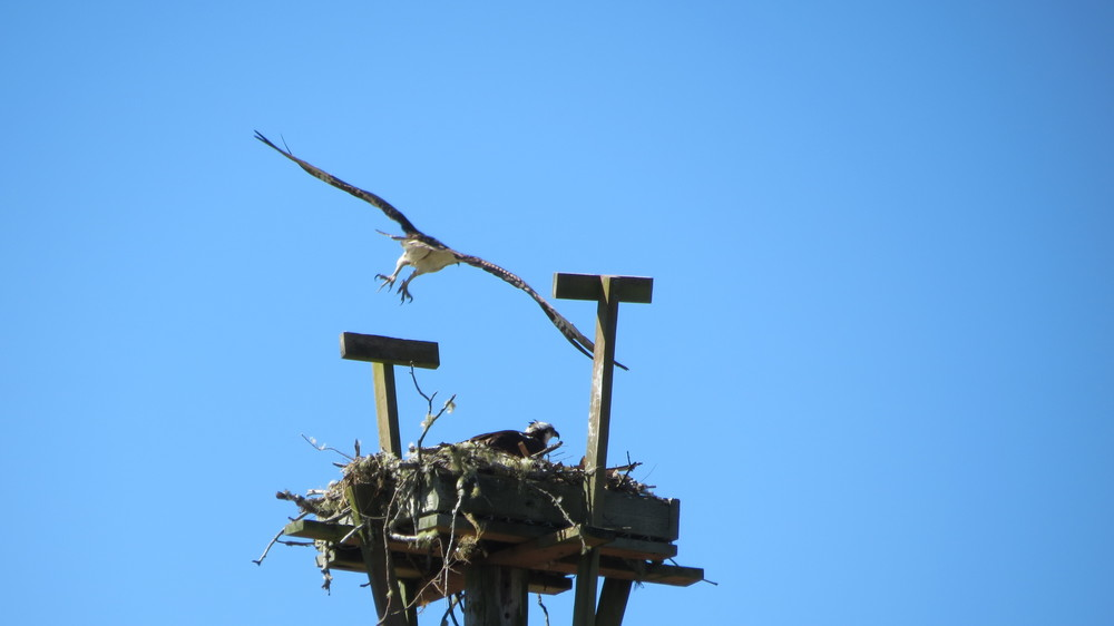 Osprey couple on nest