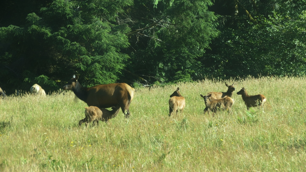 Elk cow nursing her calf with calf cousins nearby