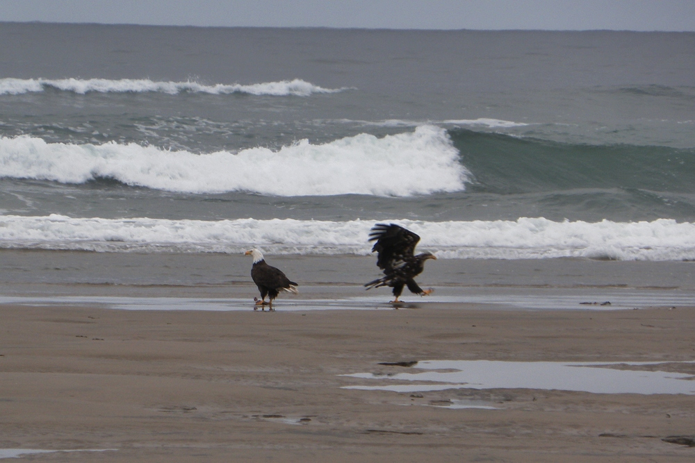 Bald eagles - youth has an attitude - Tillicum Beach Campground, Central Oregon Coast