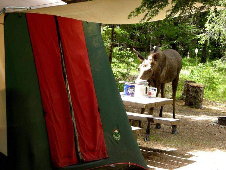 Moose - Devil's Elbow Campground, near Wallace, Idaho