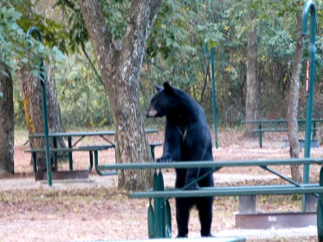Black Bear in Salt Springs Recreation Area - photo by Mike Marchant