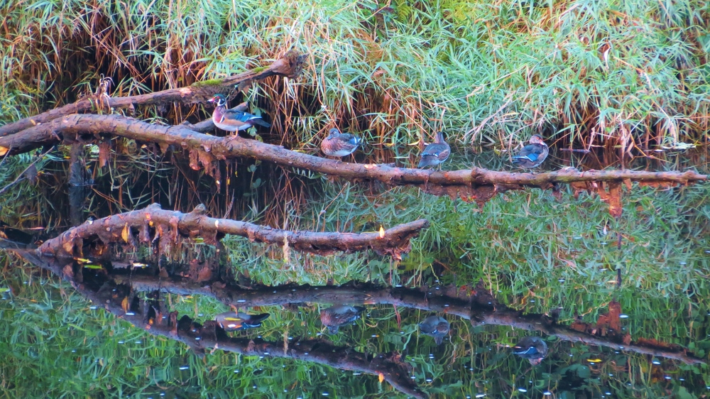 Wood Ducks on a log