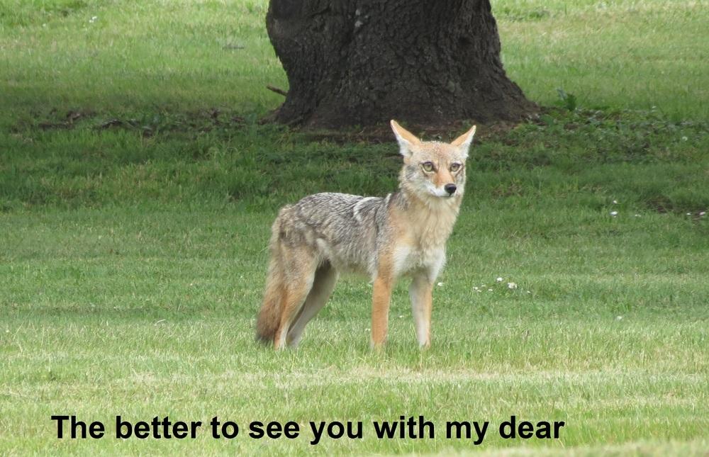 Coyote-Adobe3-words.jpg