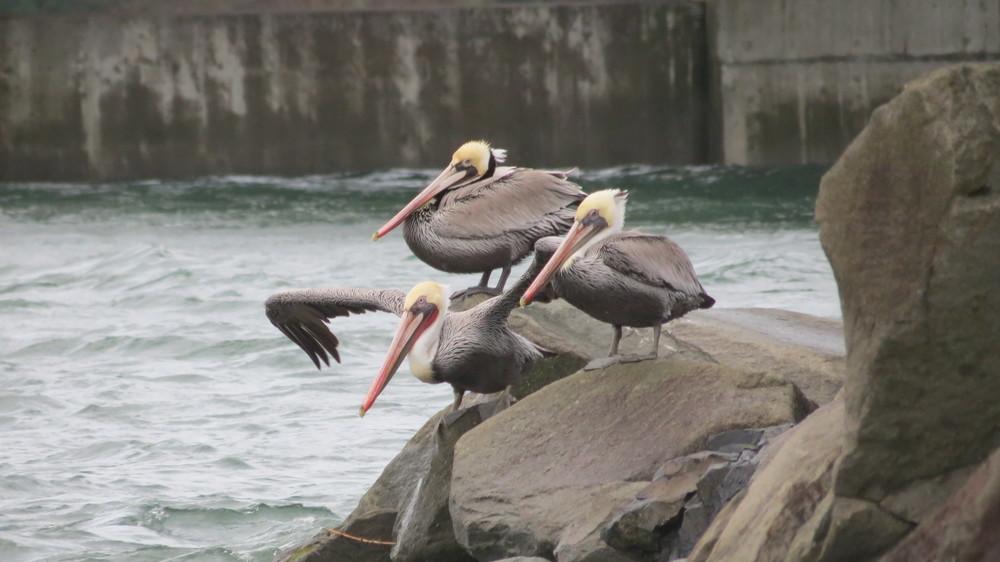 Pelicans-closeup.JPG
