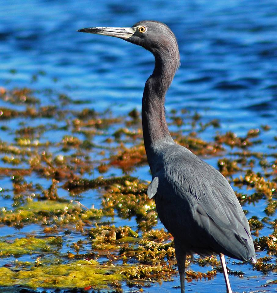 Little Blue Heron - Salt Springs, FL