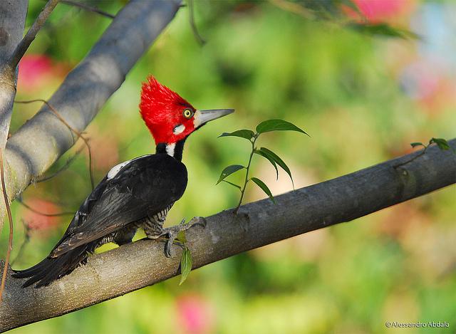 CrimsonCrestedWoodpecker.jpg