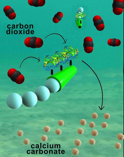 (credit: Laboratory for Nanobioelectronics, UC San Diego Jacobs School of Engineering)..... In the future, we could potentially use these micromotors as part of a water treatment system, like a water decarbonation plant.