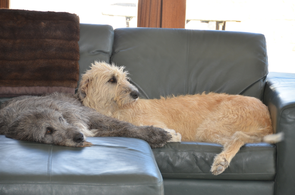 Irish Wolfhound Couch Potatoes