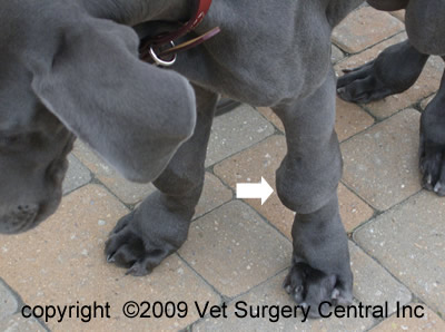 This Great Dane puppy suffering from HOD shows swollen joints on the front legs http://www.vetsurgerycentral.com/hod.htm