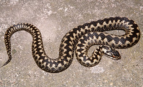 Adder - the only venomous snake in the UK
