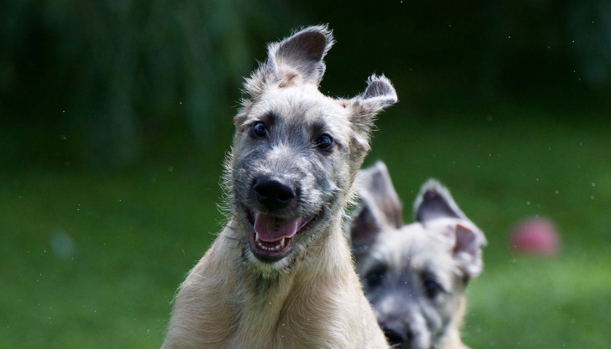 Health issues bonaforte irish wolfhounds kennelcoughherog geenschuldenfo Image collections
