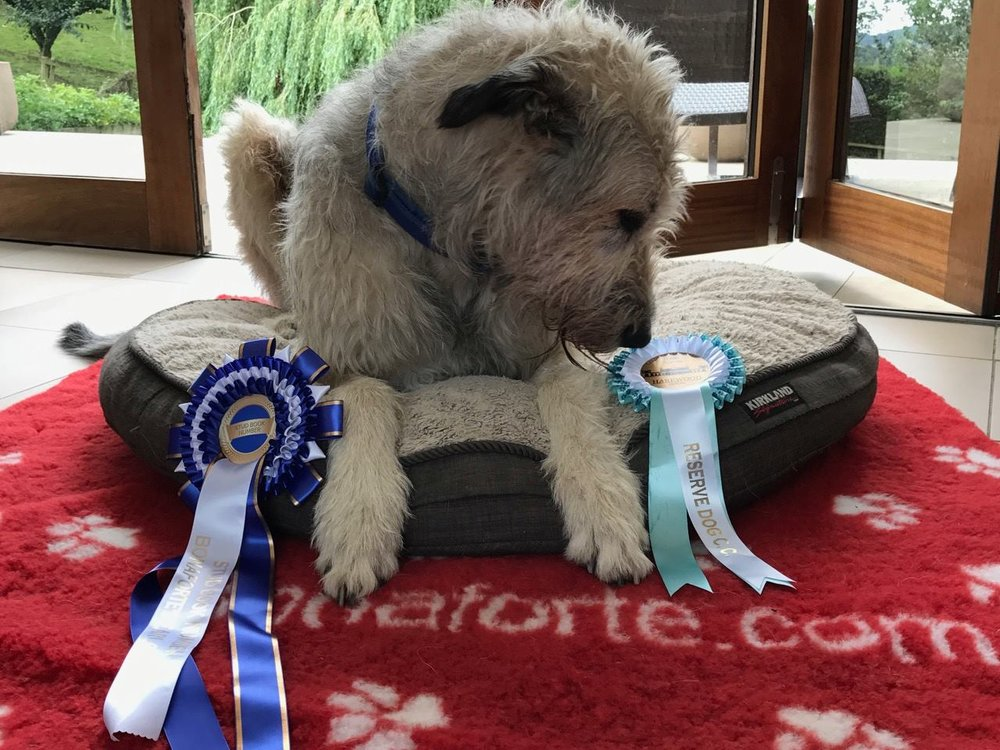 Bertie admiring his RCC and Stud Book Rosettes - thank you Maggie Holder