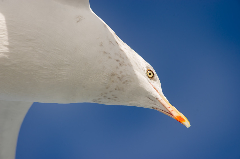 An extreme closeup of a Herring Gull as it hovers over the boat.