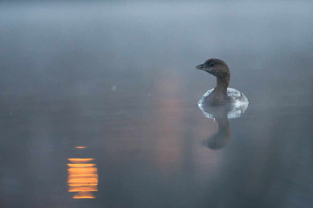 A Pied-billed Grebe sits calmly on a pond well before sunrise.