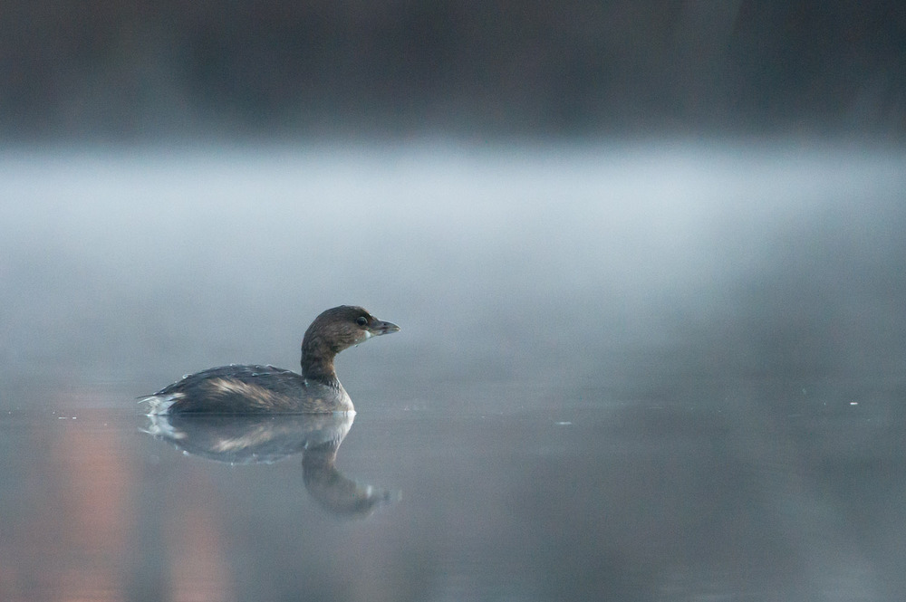 A Pied-billed Grebe in the early morning fog.