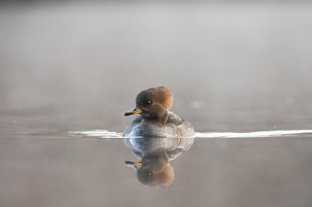 A female Hooded Merganser swims right at me.
