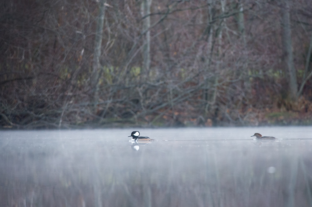 A pair of Hooded Mergansers quietly swim across the pond on a foggy morning.