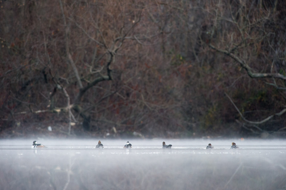 A group of Hooded Mergansers sit on the foggy pond early in the morning.