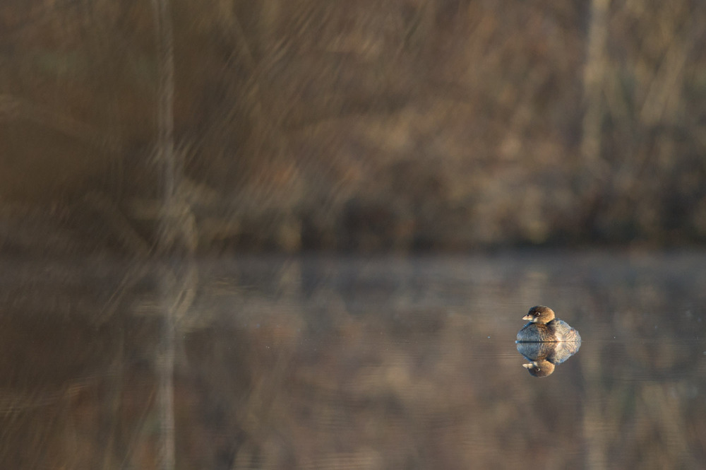 A Pied-billed Grebe sits on the flat water in the early morning sun.