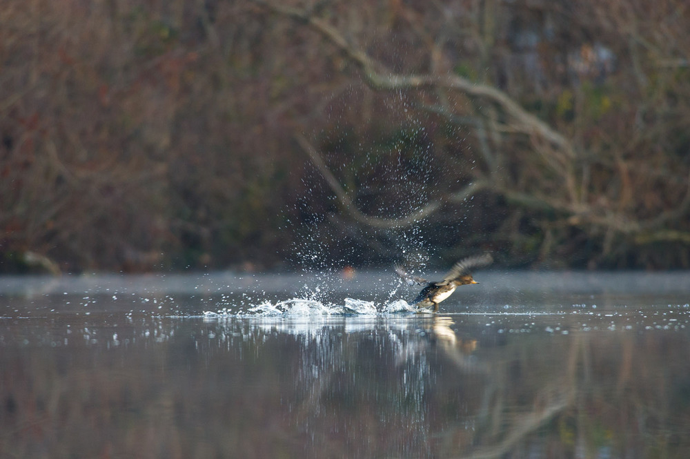 A female Hooded Merganser explodes from the pond in a spray of water.