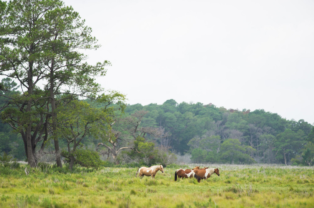 The wild ponies of Chincoteague Island