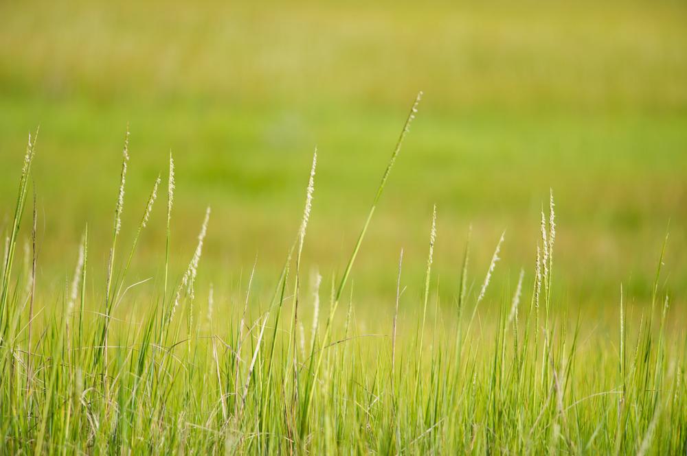 Bright Green Marsh Grasses